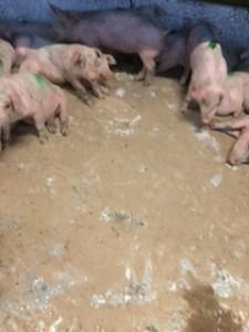 Et godt, tørt stimiljø giver grisene den bedste start på slagtesvineperioden.