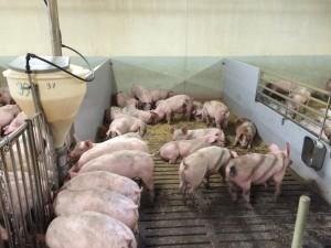 Der skal også være fokus på fodring når slagtesvin indsættes i stien.